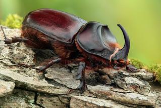 Rhinoceros beetle - Neushoornkever