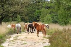 "Natuurgebied "" Kampina"" (ToJoLa) Tags: wood summer horse green nature canon groen natuur explore zomer paarden noordbrabant naturetrail kampina 2014 natuurgebied canoneos60d"