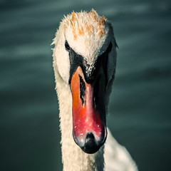 swans are evil (d.frame///) Tags: lake nature animals zeiss canon square 50mm 11 jena carl m42 balaton 30d pancolar