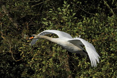 Mute swan (david.england18) Tags: muteswan swan localpark lake birdsuk cygnets summer moult winterseason queensparkheywood canon7d canonef300mmf4lisusm wing muscules