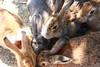 image (Rubia.A) Tags: 兎 うさぎ rabbit animal rabbitisland okunoisland 大久野島 広島 japan hiroshima