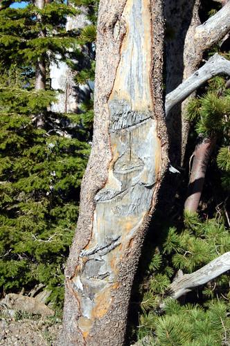 slashed tree yellowstone