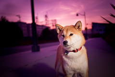 Ruby Skies (kaoni701) Tags: sanfrancisco city sunset portrait dog pet night fuji purple bokeh dusk magenta suki shibainu missionbay shibaken  x100 strobist sb900