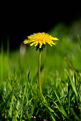 *the promise of a positive future* (nikkiluvssf) Tags: green grass dof yellowflower picasso flowerpower naturephotography invernessca natureycrap articulatingscreen