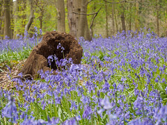 Stump in bluebell wood (James E. Petts) Tags: wood flowers bluebells woodland spring stump cliveden bluebellwood