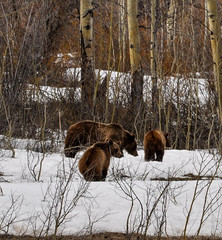 Miss 399 and Cubs (WillOPeterson) Tags: bear trees light mountain snow flower clouds spring nikon jackson adventure april yellowstone cubs wyoming grandtetons tetons jacksonhole hotsprings mudseason grizzlybear grandtetonnationalpark d90 nikond90