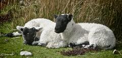 Lambs on the Elgol Road (kfjmiller) Tags: mountain skye nature landscape scotland sheep scenic april lamb edits 2014 niksoftware elgolroad nikond7000