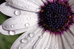 Petals and raindrops (Wilamoyo) Tags: white abstract flower macro nature water beauty up droplets dvd close purple artistic shapes romance raindrops botany