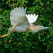 Squacco heron (Ardeola ralloides, Stârc Galben) in flight