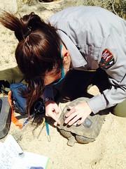 Retransmittering desert tortoises (Joshua Tree National Park) Tags: california people nationalpark ranger joshuatree transmitter joshuatreenationalpark deserttortoise