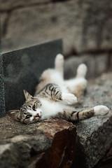 Hi there (rampx) Tags: japan zeiss cat temple tabby hiroshima neko   straycat  tomonoura  zf2 aposonnart2135