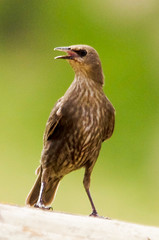 Estornell jove / Young starling (SBA73) Tags: bird nature animal au young starling ave vogel jove joven pjaro sturnusvulgaris commonstarling ocell estornino estornell cridar estornellcom