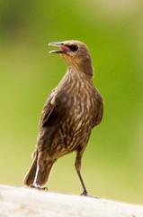 Estornell jove / Young starling (SBA73) Tags: bird nature animal au young starling ave vogel jove joven pájaro sturnusvulgaris commonstarling ocell estornino estornell cridar estornellcomú