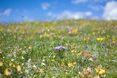 2'426'572 flowers @ Plammis . Valais (Toni_V) Tags: flowers alps schweiz switzerland europe dof suisse bokeh hiking rangefinder alpen svizzera wallis valais wanderung m9 leuk 2014 leukerbad flowerfield inden blumenwiese svizra myswitzerland summiluxm 140706 35mmf14asph alpwiese 35lux toniv leicam9 cransmontanaleukerbad chllerfle l1017160