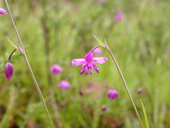Arthropodium minus, Small Vanilla Lily