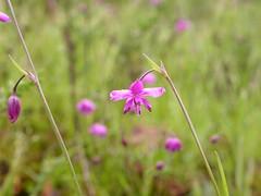 Arthropodium minus, Small Vanilla Lily