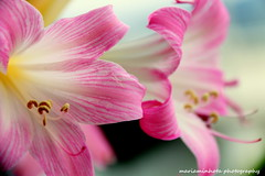 Belladonna (mariaminhota) Tags: portugal flower amaryllisbelladonapinkstemsmacrobeautynature beautylightbeautifulcanon eos 70dcanon lens 18200mm two