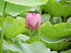 """荷花 lotus (ddsnet) Tags: sony cybershor hx100v 荷花 lotus 荷 蓮 蓮花 荷葉 蓮葉 蓮蓬 水生植物 aquaticplants cybershot """"aquatic plants"""" ハス aquatic plants"""