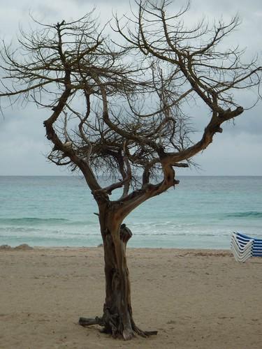 Majorca tree1