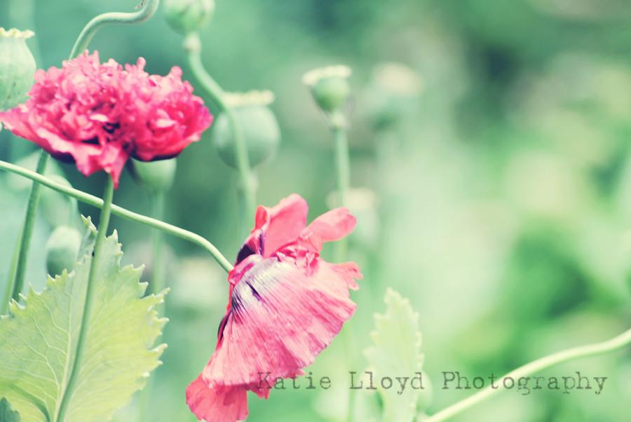 poppy---pink-3