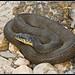Yellowbelly Water Snake (Nerodia erythrogaster flavigaster)