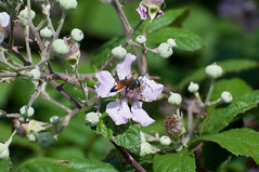 JRLD-20110623_13069 (XoseMon) Tags: insectos spain zaragoza animales aragón aragn avispatuneladora