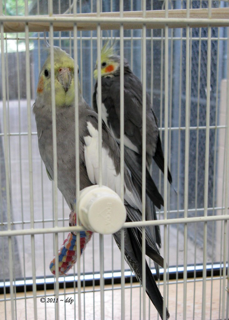 Two Cockatiels that were part of Animal Planet Television Show
