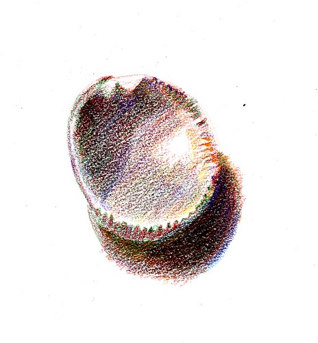 shell in colored pencil