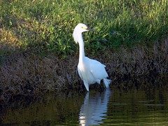 Snowy Egret (Jim Mullhaupt) Tags: white lake bird nature water pond flickr florida feathers egret bradenton snowyegret freshwater wader blacklegs mullhaupt jimmullhaupt
