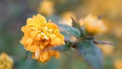 DSC02166 (1) (eddycom) Tags: macro natur a7 florafauna blüten bokhe sonya7