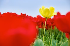 Standing Out (martijnvdnat) Tags: sky flower field yellow clouds tulips perspective soil tulip bulbs tulipfield tulipa