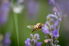 Honey Bee coming in for a landing (dhc_photos) Tags: flower insect lavender bee honey honeybee