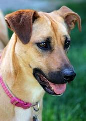 0586 (Marbeck53) Tags: dog pet animal female canon mammal eos mutt backyard friend bokeh cincinnati sadie canine bitch oh mixedbreed 60d marbeck53 markriesenbeck
