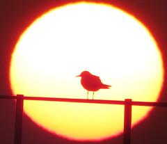 IMG_0043x (gzammarchi) Tags: italia paesaggio natura mare ravenna lidoadriano alba sole animale uccello gabbiano monocrome