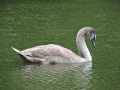 Cygnet on a sea of green (PhotoLoonie) Tags: swan cygnet britishwildlife muteswan ukwildlife wildlife wildbird