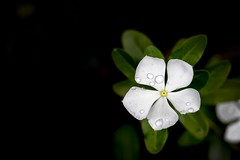 Catharanthus (AdrianoSetimo) Tags: catharanthusroseus vincadegato vincademadagascar vinca blackbackground flor flower olympusem10 olympusomdem10 olympus olympusmzuikodigitaled1240mmf28pro olympus1240mm em10