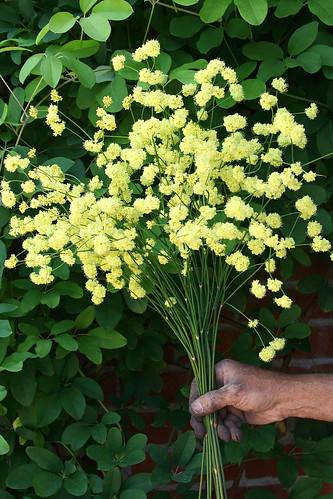 eriogonum nudum ella nelson bouquet