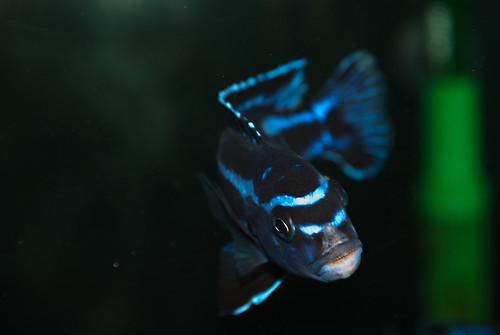 Pseudotropheus cyaneorhabdos Maingano