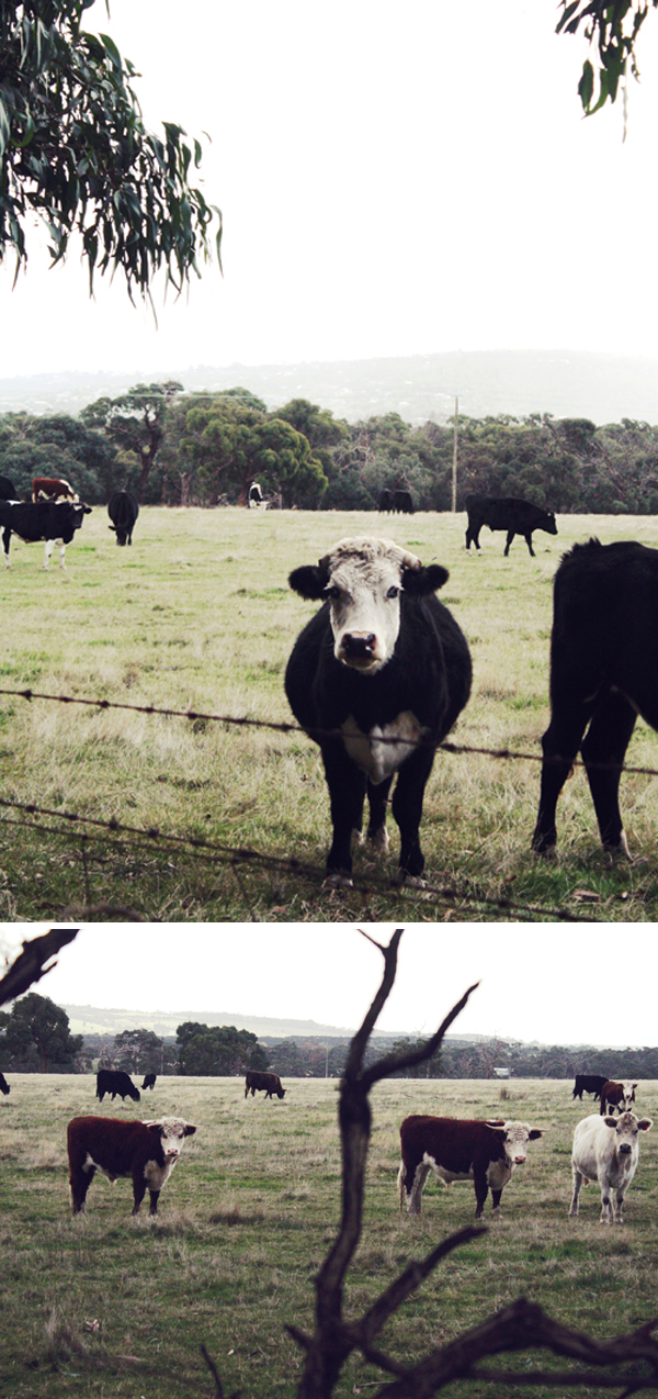 melbourne wandering_mrngton_cows