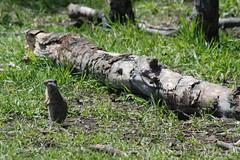 Uinta Ground Squirrel (Whistle Pig) - Mormon Row Historic District - Grand Teton National Park (jrozwado) Tags: usa nationalpark log wildlife northamerica wyoming grandteton groundsquirrel historicsite whistlepig mormonrow antelopeflats