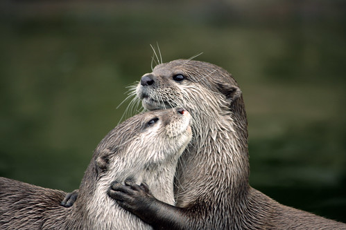 Otter Love -- animal animals love otter sea green cute hands brown mammal