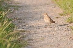 Sky Lark (Macke827) Tags: sky bird animal wildlife feld lerche tier vogel skylark feldweg lark arvensis d90 alauda feldlerche