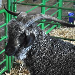 BSG - Billy Goat Gruff