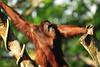 Orangutan (Filan) Tags: nikon singapore nikkor fx vr d3 singapura filan sooc straightoutofcamera filanthaddeusventic nikkor500mmf40vr filand3 filantography nikonfilan filanthography nikonianfilan iamfilan