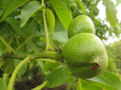 Walnut (duckinwales) Tags: tree green walnut nuts edible oxfordshire uffington veneer introduced enland juglansregia englishwalnut persianwalnut commonwalnut jupitersacorns jupitersnut