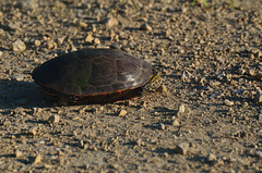Turtle DSC_8947 by Mully410 * Images