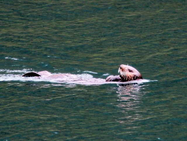 Sea Otter 20110625