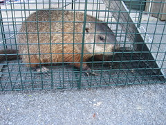 groundhog relocation program