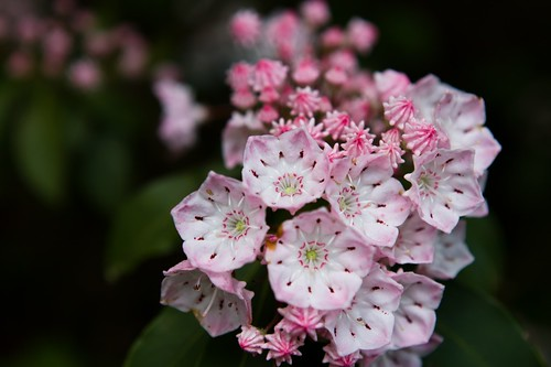Mountain Laurel on Guilder Pond