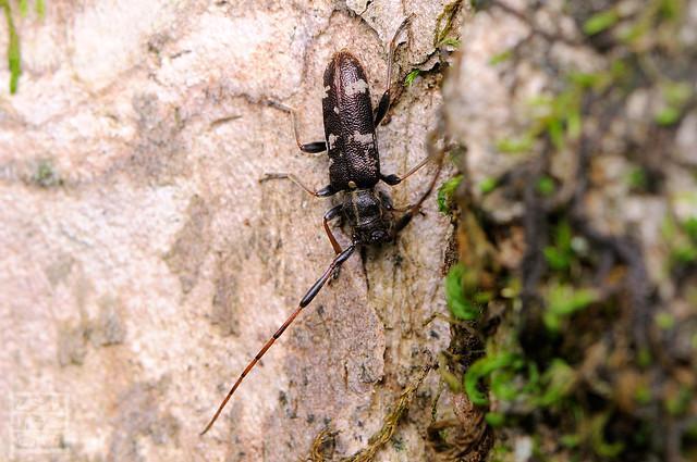 Nanohammus rufescens